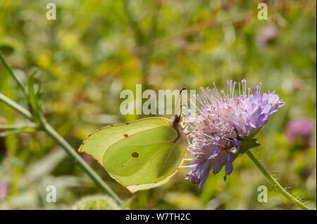 Brimstone moth (Gonepteryx rhamni) male feeding on Scabious flower nectar, South Karelia, southern Finland, July. - Stock Photo