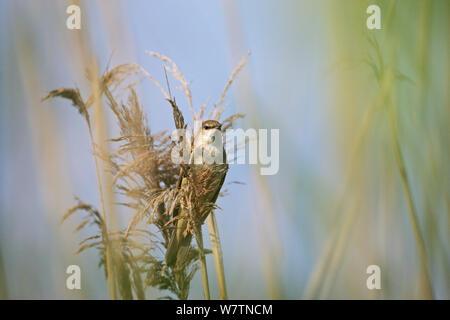 Great reed warbler (Acrocephalus arundinaceus) perched in Common reed (Phragmites australis) in marshland near Tiszaalpar, Hungary, June. - Stock Photo