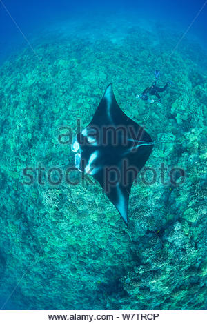 Researcher Mark Deakos using a video camera with laser spotting lights to record the identification pattern (unique pattern of spots on underside) of a Reef manta ray (Manta alfredi) Makalawena, Kona, Hawaii, Central Pacific Ocean. Model released. - Stock Photo