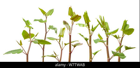 Japanese Knotweed (Fallopia japonica) plant against white background, UK. Invasive species. - Stock Photo