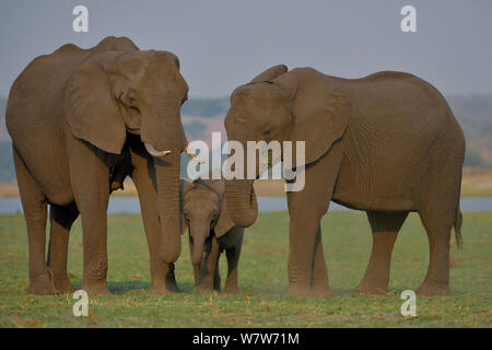 African elephant (Loxodonta africana) calf grazing between its mother and another cow, Chobe River, Botswana, October, Vulnerable species. - Stock Photo