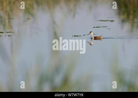 Young Black winged stilt (Himantopus himantopus) swimming, Aude, France, July. - Stock Photo