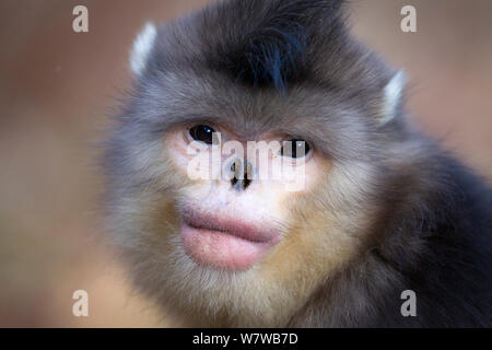 Yunnan Snub-nosed Monkey (Rhinopithecus bieti) portrait,. Yunnan Province, China. - Stock Photo