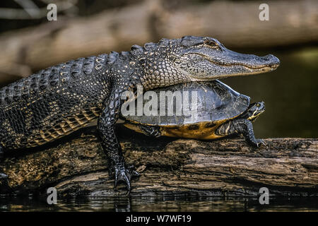Alligator (Alligator mississippiensis) taking over Florida Red-bellied Turtle's (Pseudemys nelsoni) sunning spot on a log. Hillsborough River State Park, Florida, USA. - Stock Photo