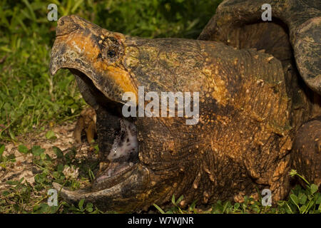 Alligator snapping turtle (Macrochelys temminckii) head portrait, with mouth wide open, Louisiana, USA, April. Vulnerable species. - Stock Photo