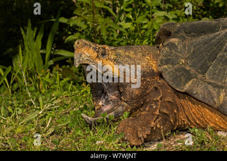 Alligator snapping turtle (Macrochelys temminckii) with mouth wide open, Louisiana, USA, April. Vulnerable species. - Stock Photo