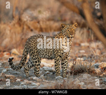 Leopard (Panthera pardus) portrait, Etosha National Park, Namibia. - Stock Photo