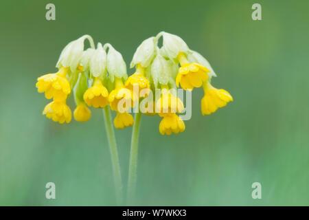 Cowslip (Primula veris) in flower, Hardington Moor NNR, Somerset, England, UK, April. - Stock Photo