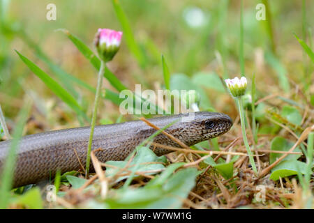 Slow worm in grass (Anguis fragilis) Alsace, France, May. - Stock Photo