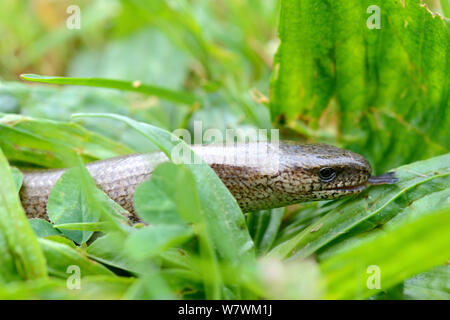 Slow worm in grass (Anguis fragilis) flicking tongue,  Alsace, France, May. - Stock Photo