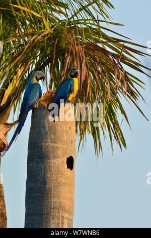 Blue and yellow macaw (Ara ararauna) pair at nest in palm tree, Pantanal, Brazil. - Stock Photo
