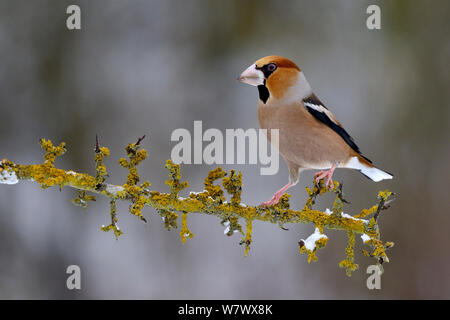 Hawfinch (Coccothraustes coccothraustes) Male perched on snowy branch in winter, Moselle, France. January. - Stock Photo