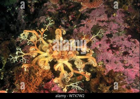 Basket star (Gorgonocephalus eucnemis), Alaska, USA, Gulf of Alaska. Pacific ocean. - Stock Photo