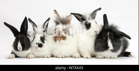 Five young Lionhead cross rabbits in different colourations. - Stock Photo