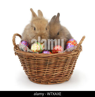 Two baby Lionhead cross rabbits in a wicker basket with easter eggs. - Stock Photo