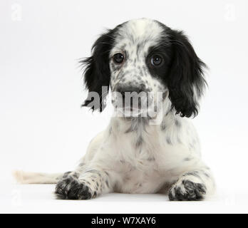 Black and white Border Collie x Cocker Spaniel puppy, 11 weeks, lying with head up. - Stock Photo