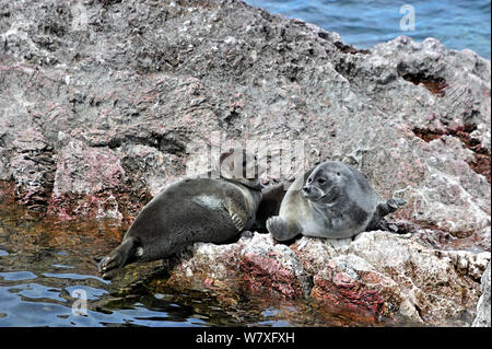 Baikal seals (Pusa sibirica), an endemic species, hauled out on rock. Lake Baikal. Russia, May. - Stock Photo