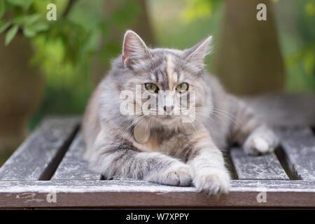 Siberian forest cat, (Felis catus), grey, ginger and white female kitten, age 7 months, resting in garden, Clifton, Bristol, UK, - Stock Photo