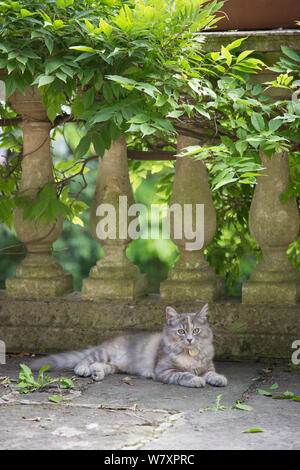 Siberian forest cat, (Felis catus), grey, ginger and white female kitten, age 7 months, resting in garden, Clifton, Bristol, UK - Stock Photo