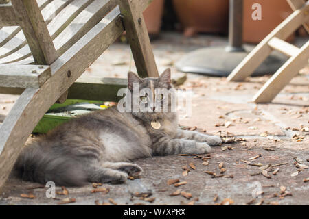 Siberian forest cat (Felis catus) grey, ginger and white female kitten age 7  months, resting under chair, UK. - Stock Photo