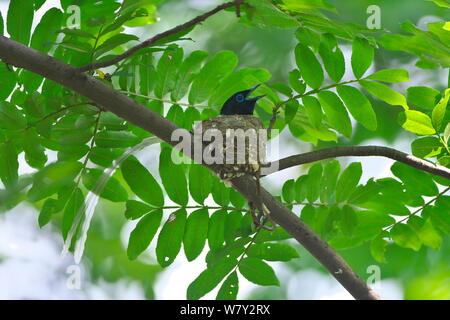 Asian paradise-flycatcher (Terpsiphone paradisi) perched, Shanyang town, Gutian County, Hubei province, China. - Stock Photo