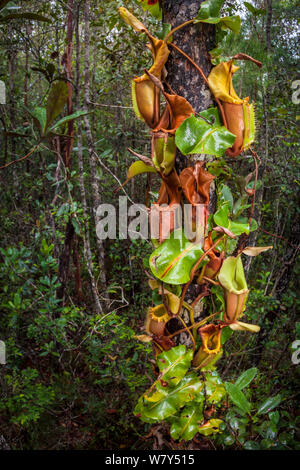 Large aerial pitchers of Veitch's pitcher plant (Nepenthes veitchii) growing up a tree trunk. Maliau Basin, Sabah, Borneo. - Stock Photo