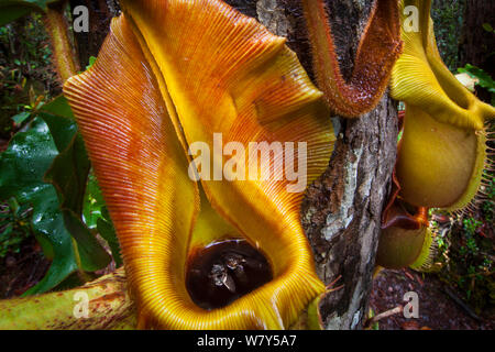 Large aerial pitchers of Veitch's pitcher plant (Nepenthes veitchii) growing up a tree trunk, showing captured fly. Maliau Basin, Sabah, Borneo. - Stock Photo