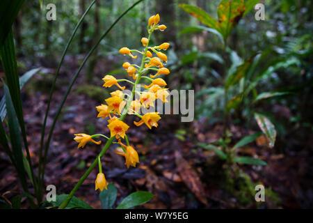 Yellow terrestrial orchid (Orchidaceae) Maliau Basin, Borneo. - Stock Photo