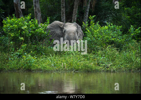 African forest elephant (Loxodonta cyclotis) at edge of water. Lekoli River, Republic of Congo (Congo-Brazzaville), Africa. Vulnerable species. - Stock Photo