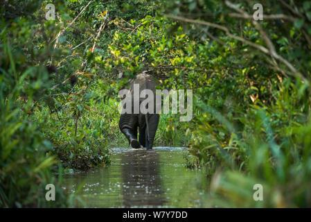 African forest elephant (Loxodonta cyclotis) Lekoli River, Republic of Congo (Congo-Brazzaville), Africa. Vulnerable species. - Stock Photo