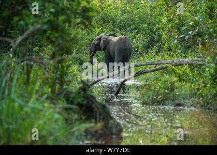 African forest elephant (Loxodonta cyclotis) in water, Lekoli River, Republic of Congo (Congo-Brazzaville), Africa. Vulnerable species. - Stock Photo