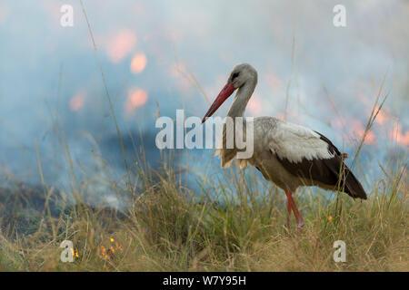 White stork (Ciconia ciconia) hunting and feeding at the edge of a bushfire, Masai-Mara Game Reserve, Kenya. March. - Stock Photo
