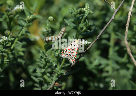 Crimson speckled moth (Utetheisa pulchella) adult with caterpillar in the background,  Oman, March - Stock Photo