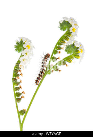 Caterpillar of Crimson-speckled flunkey (Utetheisa pulchella) on Round-leaved Heliotrope (Heliotropium rotundifolium), Netanya, Central Coastal Plain, Israel. Meetyourneighbours.net project - Stock Photo