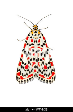 Crimson-speckled flunkey (Utetheisa pulchella), Netanya, Central Coastal Plain, Israel, June. Focus-stacked and cropped. meetyourneighbours.net project - Stock Photo