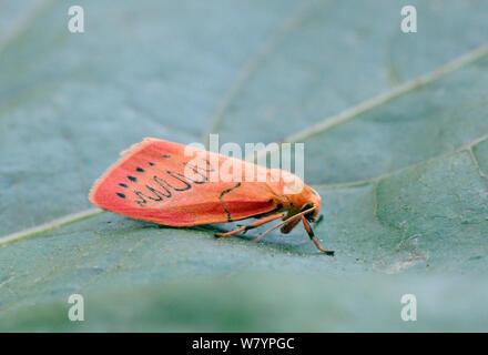 Rosy footman moth (Miltochrista miniata) on leaf, Wiltshire, UK, July. - Stock Photo