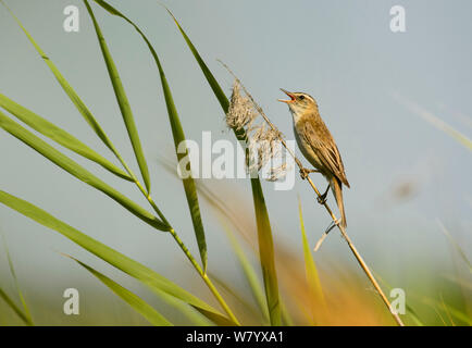 Pallas's grasshopper warbler (Locustella certhiola) perched on reed singing, Hungary, July. - Stock Photo