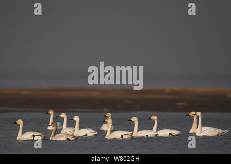 Bewick's or Tundra swan (Cygnus columbianus), wintering at the Poyang Ho Lake, Jiangxi province, China - Stock Photo