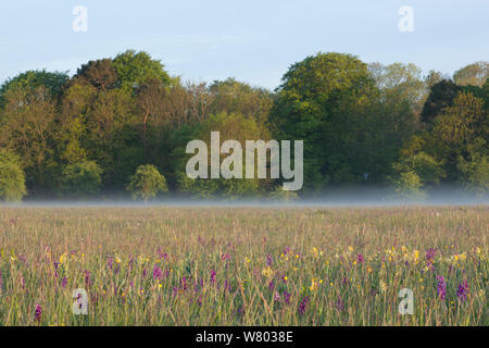 Wildflower meadow with green-winged orchids (Anacamptis morio), Cowslips (Primula veris) and Meadow buttercups (Ranunculus acris) in bloom , Ashton Court, North Somerset, UK, May. - Stock Photo