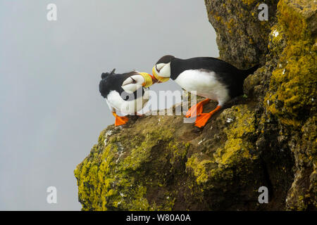 Horned puffins (Fratercula corniculata) pair interacting by touching bills while perched on cliff ledge, St. Paul Island, Pribilofs, Alaska, USA, July. - Stock Photo