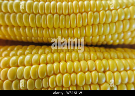 view of the raw home Golden corn cob on the table, selective focus, close up corn background. - Stock Photo