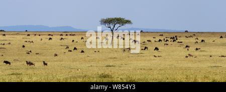 Eastern White bearded Wildebeest (Connochaetes taurinus) herd feeding on the grass plains of Masai Mara National Reserve, Kenya, September - Stock Photo