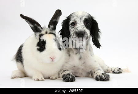 Black and white Border Collie x Cocker Spaniel puppy, 11 weeks, with matching rabbit. - Stock Photo