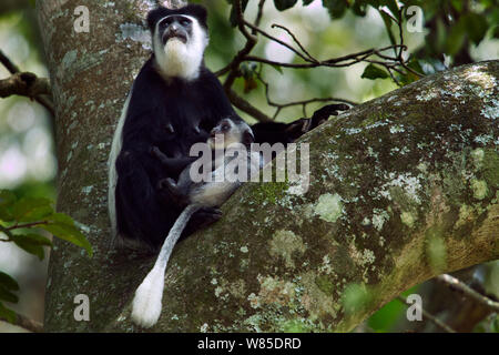 Eastern Black-and-white Colobus (Colobus guereza) female acting aggressively towards her baby aged 2-3 months. Kakamega Forest South, Western Province, Kenya - Stock Photo