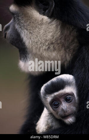 Eastern Black-and-white Colobus (Colobus guereza) female cradling her baby aged 1-2 months in her arms. Elsamere, Lake Naivasha, Rift Valley Province, Kenya. - Stock Photo