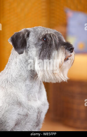Standard Schnauzer, male age 10 years with pepper-and-salt colouration, portrait. - Stock Photo