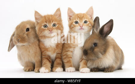 Ginger kittens age 7 weeks, sitting in row with young Lionhead Lop rabbits. - Stock Photo