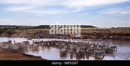 Eastern white-bearded wildebeest herd (Connochaetes taurinus) and Common or Plain's Zebra (Equus burchelli) crossing the Mara River. Maasai Mara National Reserve, Kenya. - Stock Photo