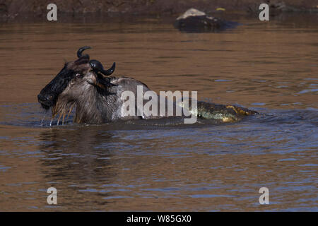 Nile crocodile (Crocodylus niloticus) attacking an Eastern White-bearded Wildebeest (Connochaetes taurinus) as it crosses the Mara River. Maasai Mara National Reserve, Kenya. - Stock Photo