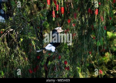 Black-and-white casqued hornbill (Ceratogymna subcylindricus subquadratus) male sitting in a Bottle Brush tree. Kakamega Forest South, Western Province, Kenya. - Stock Photo